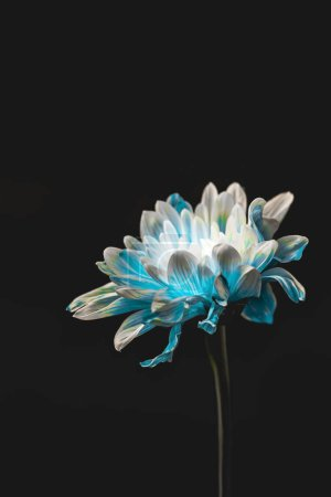 studio shot of blue and white flower, isolated on black with copy space