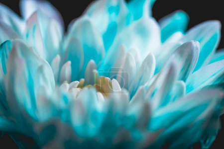 close up of blue and white daisy flower, on black