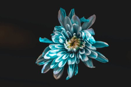 top view of blue and white flower, isolated on black
