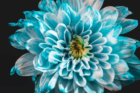 close up of beautiful blue and white daisy, isolated on black