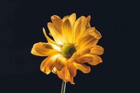 one yellow daisy flower, isolated on black