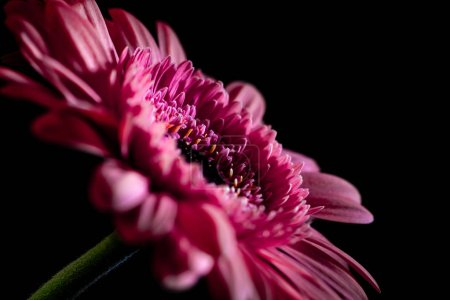 selective focus of beautiful pink gerbera flower, isolated on black