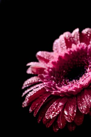 close up of pink gerbera flower with drops on petals, isolated on black background