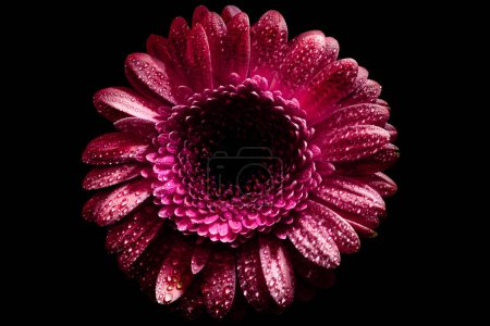 top view of pink gerbera flower with drops on petals, isolated on black