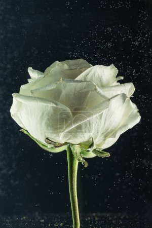 close-up view of beautiful tender white rose flower on black