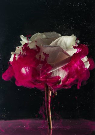 beautiful tender white rose flower and pink paint on black