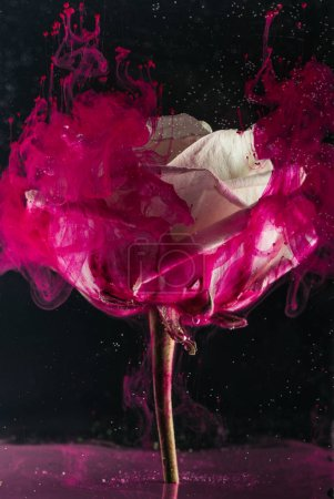 beautiful white rose flower and bright pink ink on black