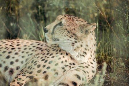 gros plan vue d'animal magnifique guépard reposant sur l'herbe verte au zoo