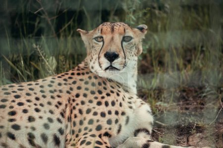 close up view of beautiful cheetah animal resting on green grass at zoo