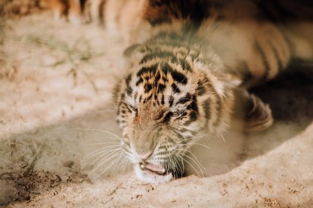 close up view of cute tiger cub at zoo