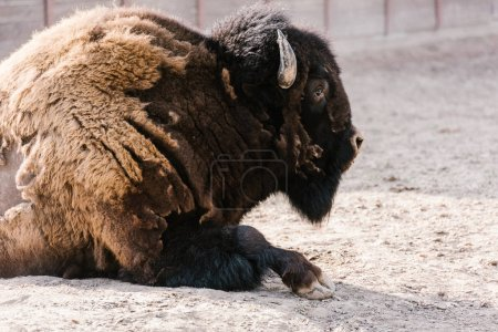 close up view of wild wisent at zoo