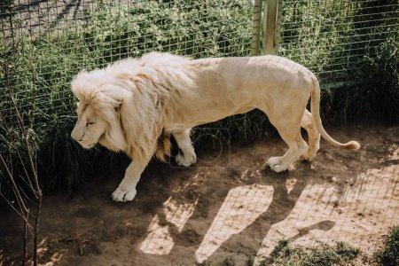 Photo pour Vue rapprochée du magnifique lion blanc africain au zoo - image libre de droit
