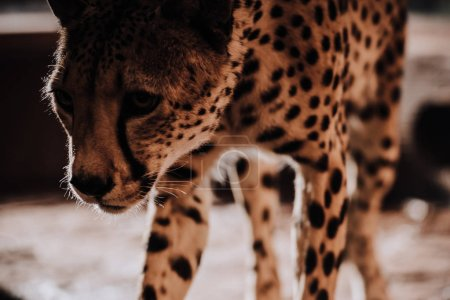 selective focus of beautiful cheetah animal at zoo