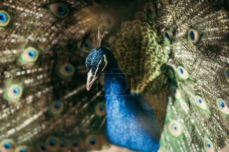 close up view of beautiful peacock with colorful feathers at zoo