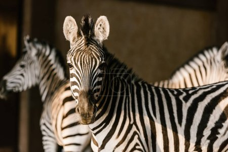 close up view of beautiful striped zebras at zoo