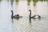 selective focus of black swans swimming on pond at zoo