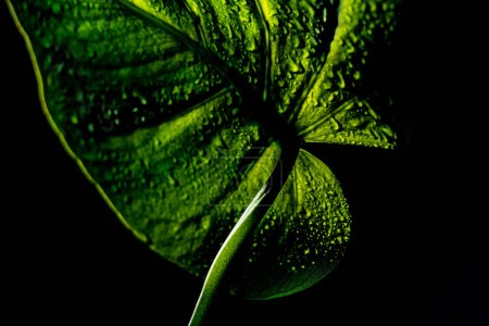 Photo for Green leaf with water leaves, isolated on black - Royalty Free Image
