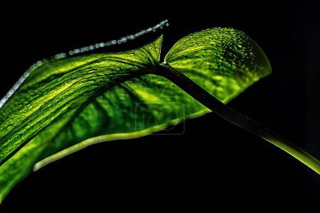 green wet leaf, isolated on black