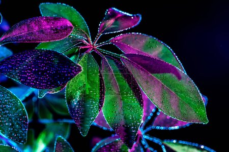 toned image of schefflera plant with wet leaves, isolated on black