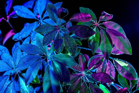 Photo pour Image tonique de la plante schefflera humide, isolé sur noir - image libre de droit