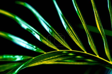 close up of green palm leaf, isolated on black