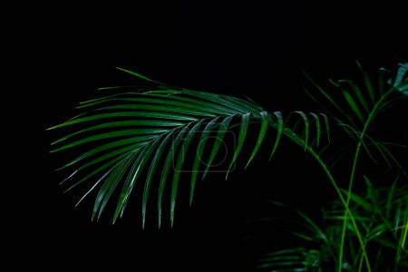 green palm leaves, isolated on black