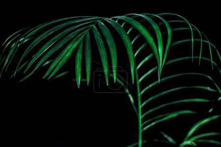 green tropical palm leaf, isolated on black