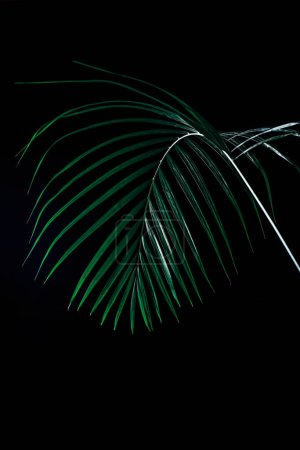 tropical palm leaf in dramatic lighting, isolated on black