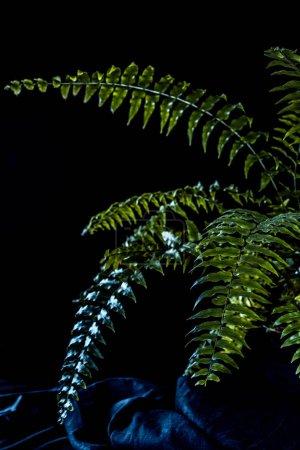 botanical green fern houseplant, on black background