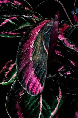 close up of calathea plant with pink leaves, isolated on black