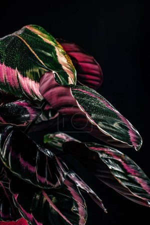 trendy calathea plant with pink leaves, isolated on black