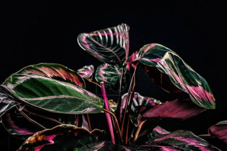 wet calathea plant with pink and green leaves, isolated on black