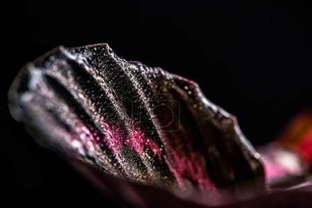 close up of pink leaf of calathea plant, isolated on black