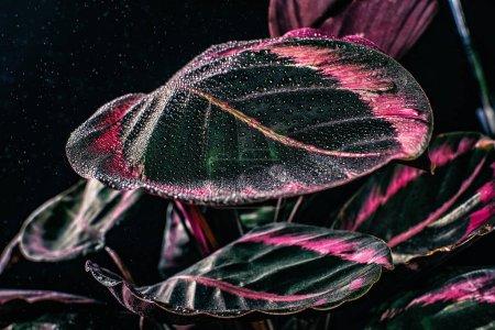 feuilles de roses de calathea plante avec des gouttes, isolée sur fond noir