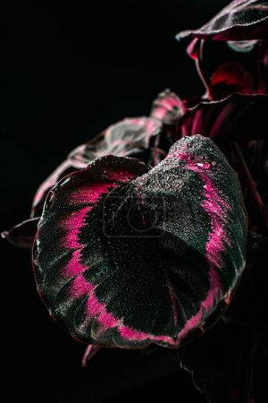 calathea decorative houseplant with pink leaves, isolated on black