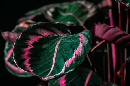 botanical calathea plant with green and pink leaves, on black
