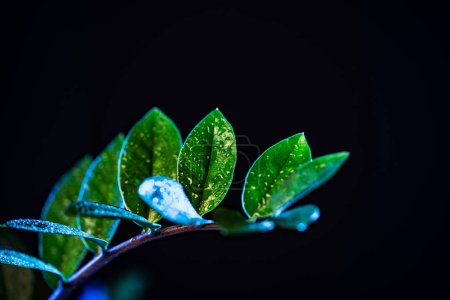 wet green zanzibar gem houseplant, isolated on black