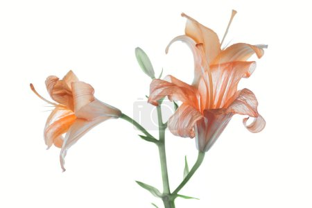 beautiful tender orange lily flowers isolated on white