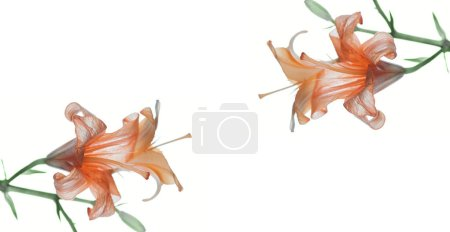 close-up view of beautiful tender orange lily flowers isolated on white background