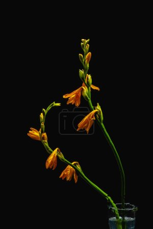 orange lily flowers and buds on green stems in transparent vase isolated on black