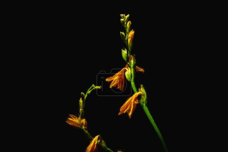 beautiful orange lily flowers and buds on green stems isolated on black background