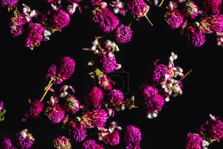 beautiful pink clover flowers isolated on black background