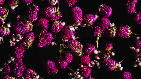 top view of beautiful pink clover flowers isolated on black