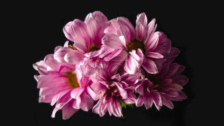 close-up view of beautiful pink chrysanthemum flowers isolated on black