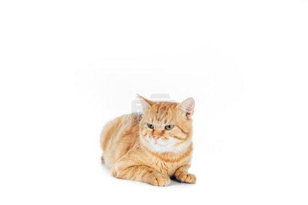 Photo pour Cute chat rouge couché isolé sur blanc - image libre de droit