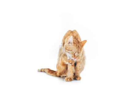 cute domestic ginger cat washing paw isolated on white