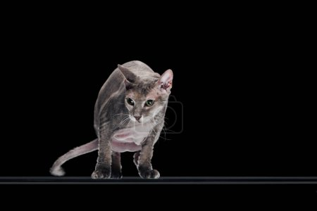 domestic grey sphynx cat moving and looking away isolated on black