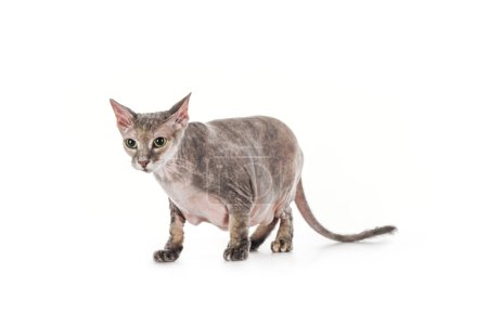 scared domestic grey sphynx cat standing isolated on white