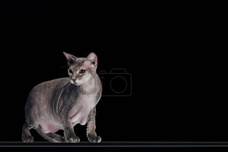 side view of domestic grey sphynx cat looking away isolated on black