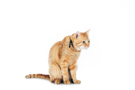 cute domestic red cat with collar looking away isolated on white